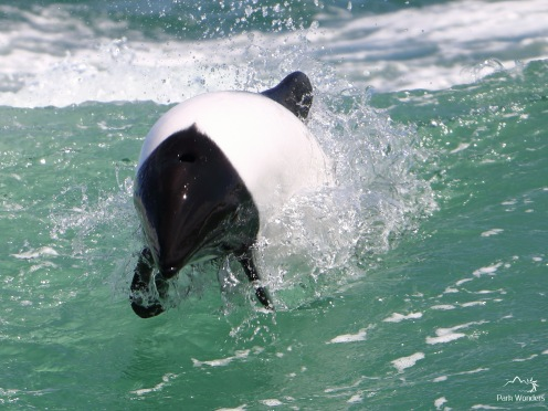 Commerson's Dolphin Watching in Puerto Rawson