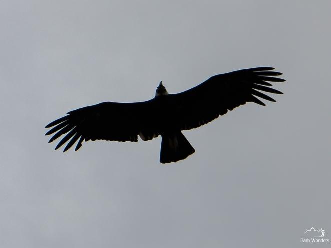 Condor - El Chalten